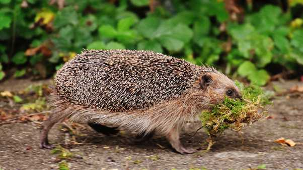 hedgehog, moss, walk