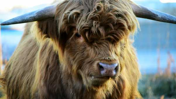 highland, cow, horns