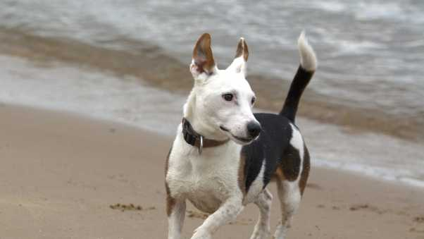 jack russell, terrier, dog
