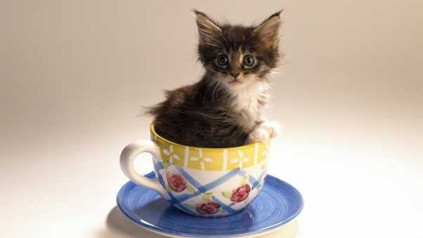 kitty, cup, fluffy