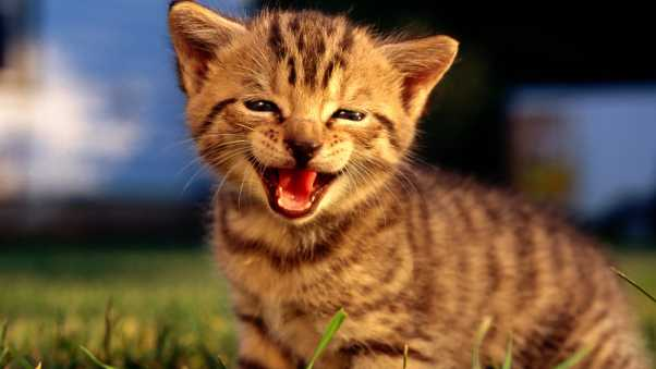 kitty, face, screaming