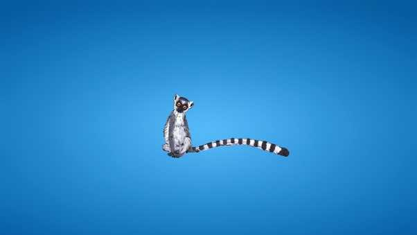 lemur, blue background, tail