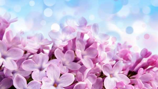 lilac, flowers, background