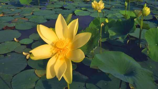 lilies, yellow, much