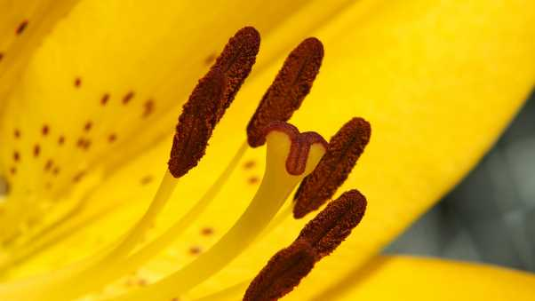lily, flower, yellow
