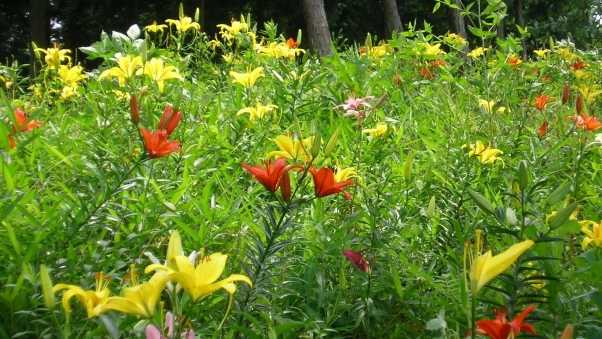 lily, flowerbed, colorful