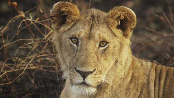 lion, young, face