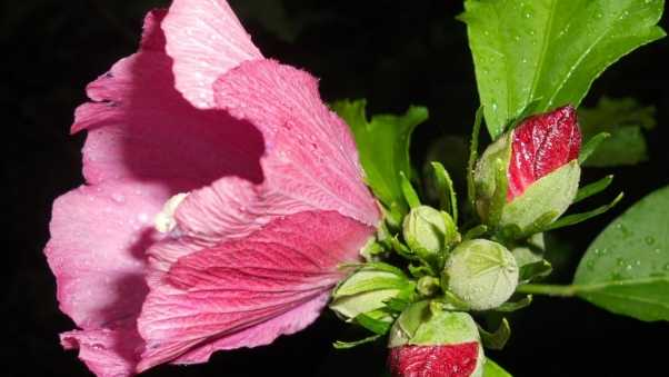 mallow, flower, buds