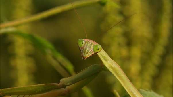 mantis, grass, insect