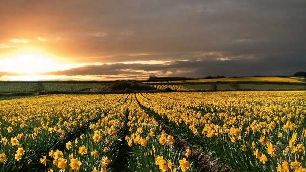 narcissuses, yellow, field