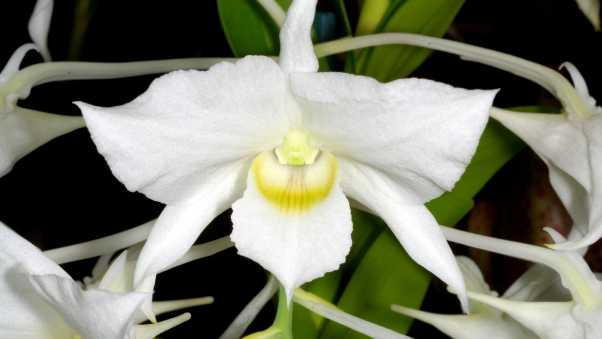 orchid, snow-white, exotic