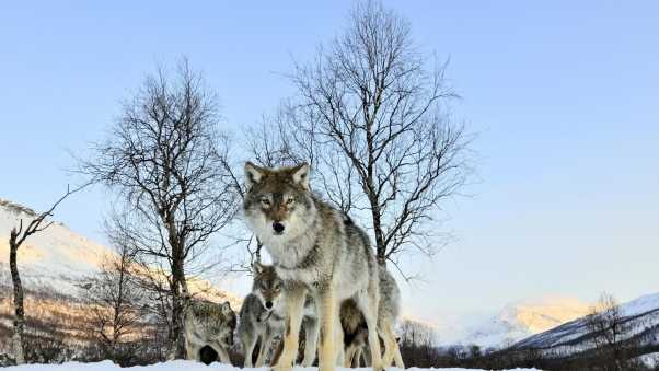 pack of wolves, winter morning, wolf
