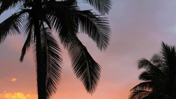 palms, sunset, branches