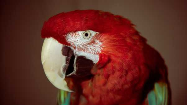 parrot, red, red parrot