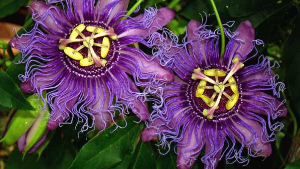 passionflower, flowers, wavy