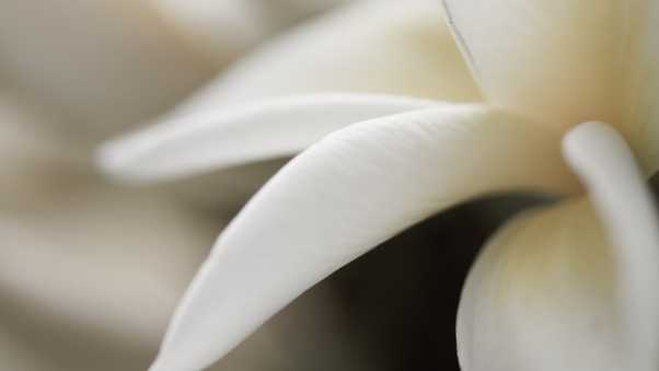petals, white, close-up