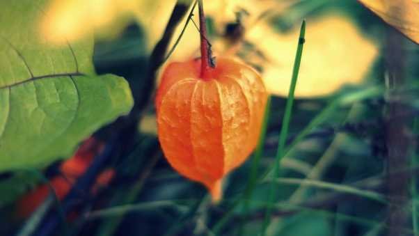physalis, chinese, plant