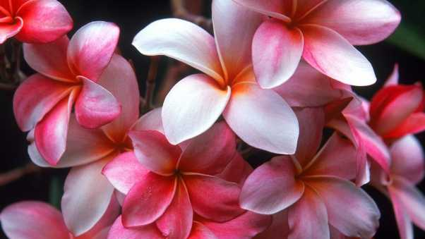 plumeria, shrubs, flowering
