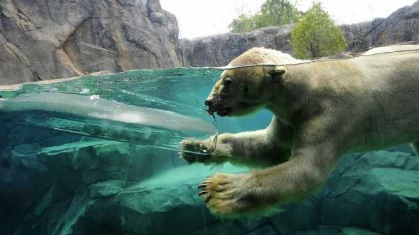 polar bear, underwater, swim