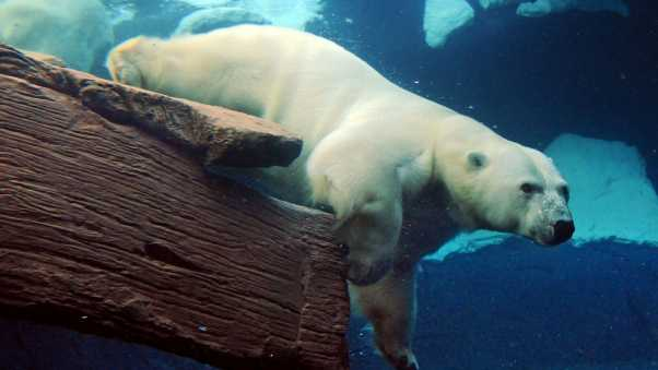 polar bear, underwater, swimming