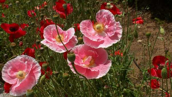 poppies, boxes, greens