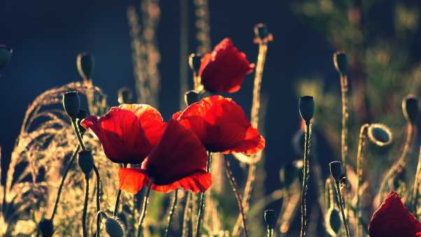 poppies, boxes, night