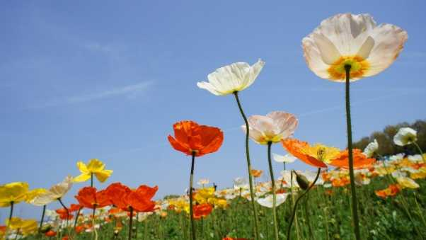 poppies, field, different
