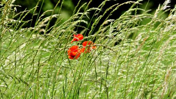 poppies, field, spikes