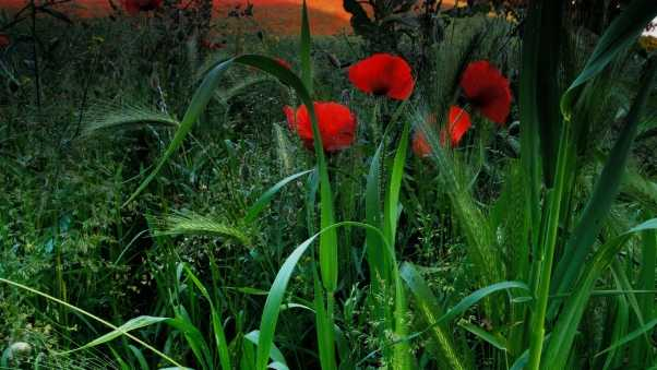 poppies, grass, meadow