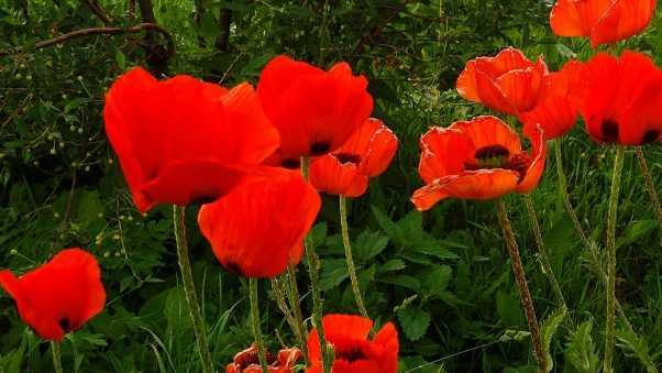 poppies, red, greens