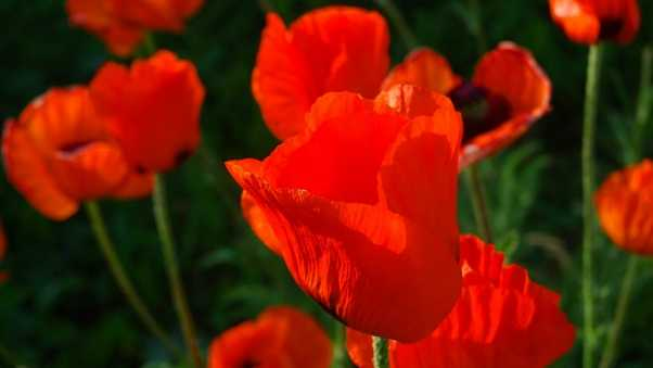 poppies, red, stems