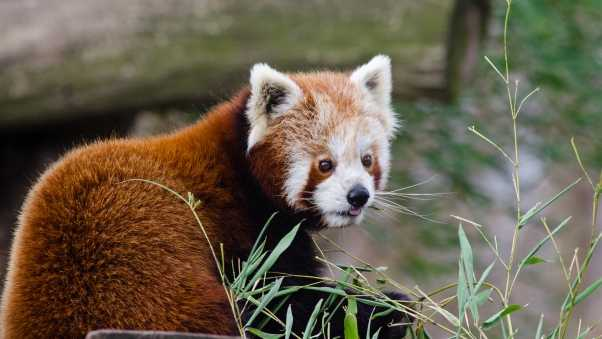 red panda, lesser panda, protruding tongue