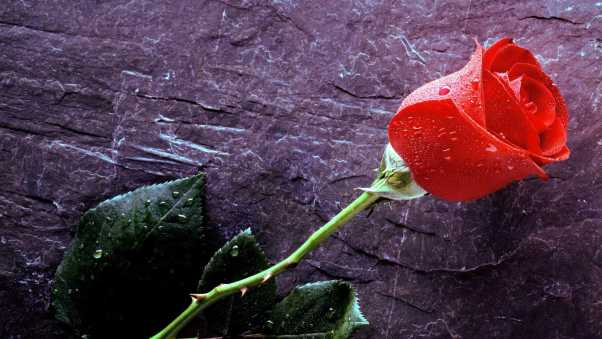 rose, flower, drops