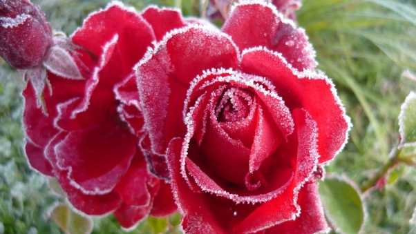 rose, red, frost