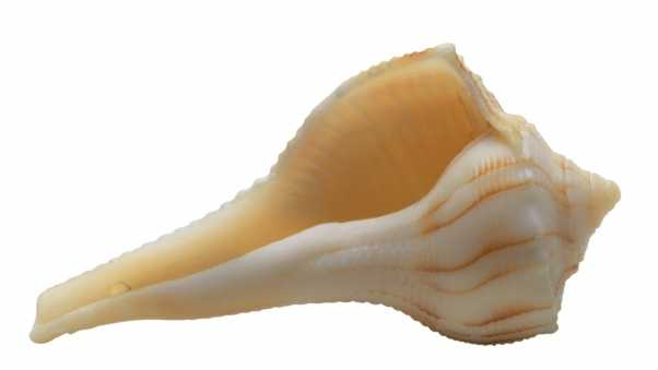 shell, white background, marine