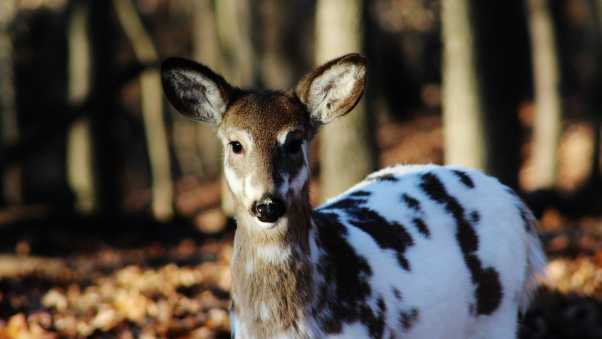 sika deer, color, deer