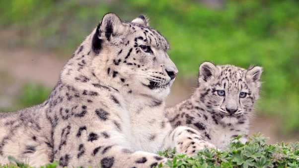 snow leopard, couple, cub