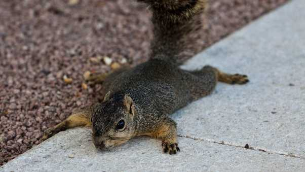 squirrel, down, tail