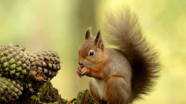 squirrel, tail, furry