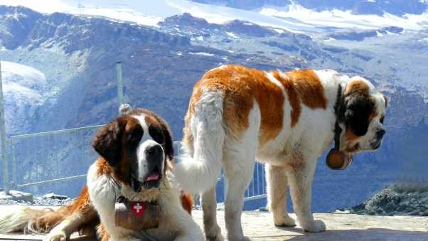 st bernards, dogs, mountains