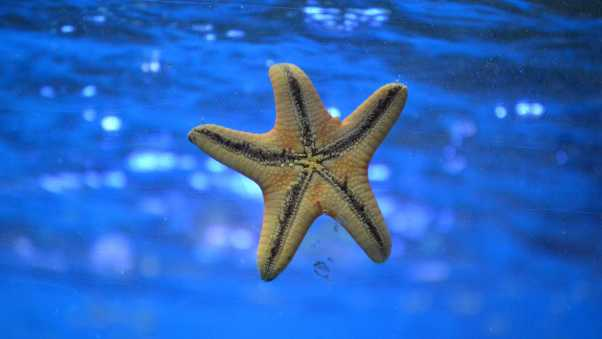 starfish, underwater, swim
