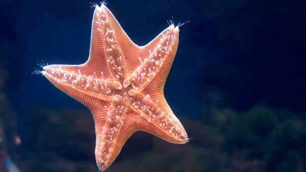 starfish, underwater, swimming