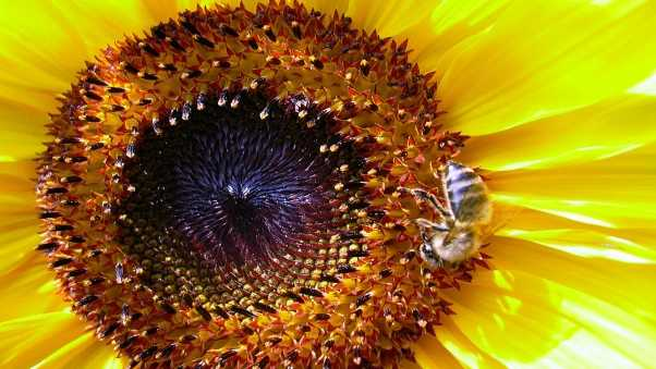 sunflower, bee, pollination