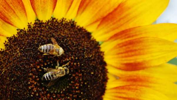 sunflowers, bees, pollination