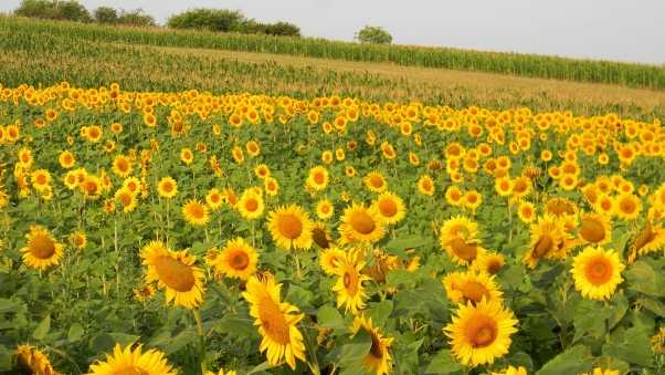 sunflowers, field, bush