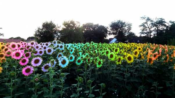 sunflowers, field, colorful