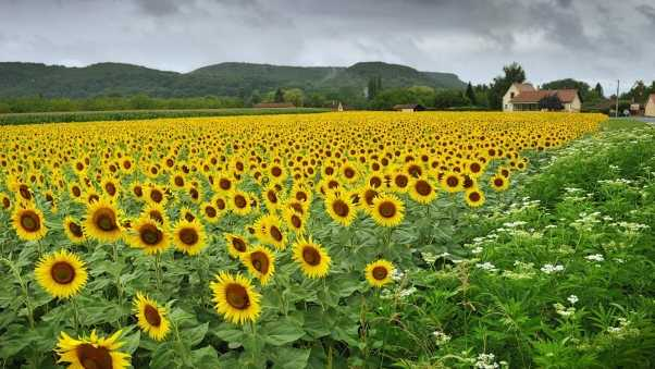 sunflowers, flowers, field