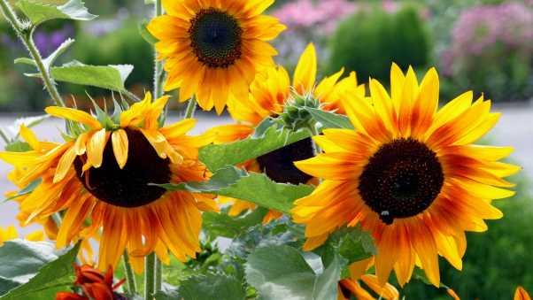 sunflowers, garden, summer