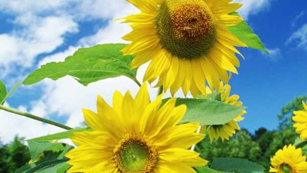 sunflowers, greenery, sky