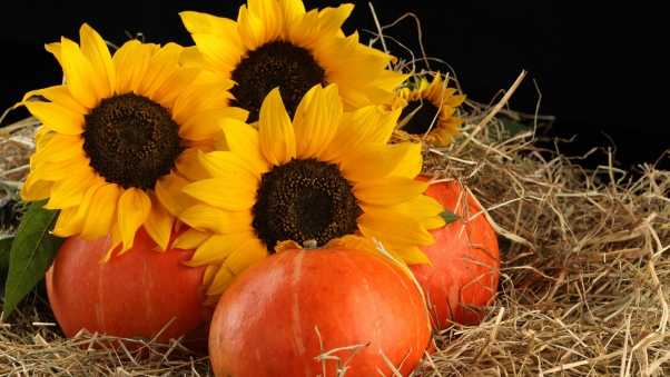 sunflowers, pumpkins, straw